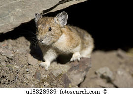 American pika Stock Photo Images. 86 american pika royalty free.
