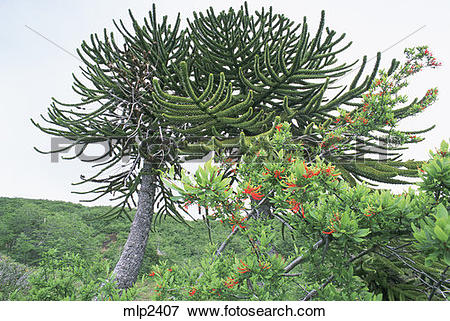 Picture of Araucaria (Araucaria_araucana), also called the Monkey.