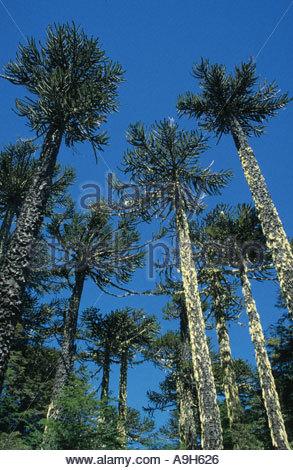 Monkey Puzzle Tree Stock Photos & Monkey Puzzle Tree Stock Images.