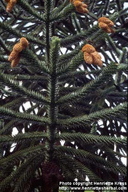 Photo: Araucaria araucana 2..