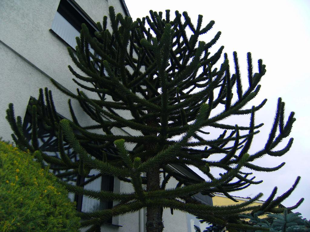 Araucaria araucana oder imbricata?.
