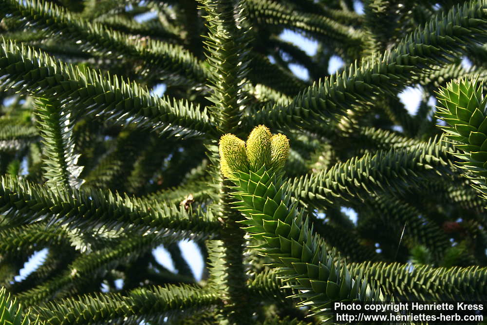 Photo: Araucaria araucana 4..