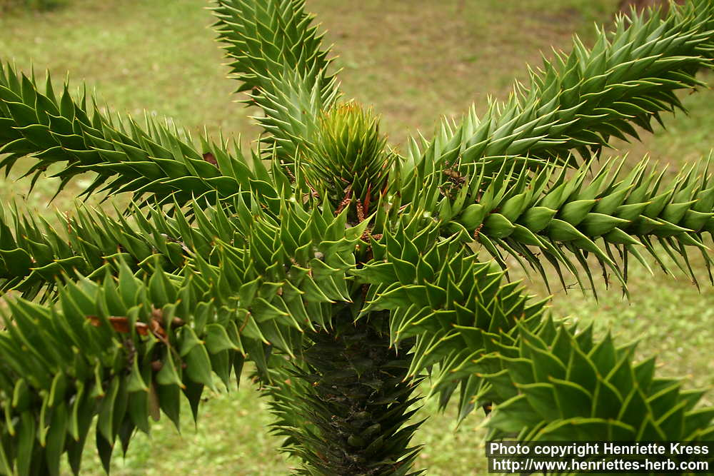 Photo: Araucaria araucana 3..