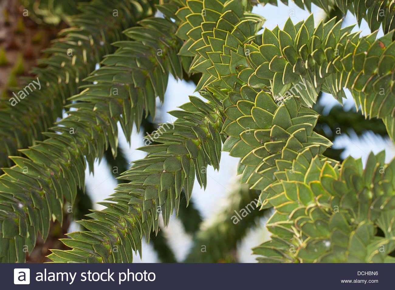 Monkey Puzzle Tree, Monkey Tail Tree, Chilean Pine, Chilenische.