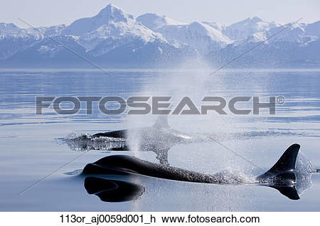 Stock Photo of Orca Whales surface in Lynn Canal with Chilkat.
