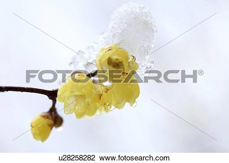 Stock Photo of Wintersweet (Chimonanthus praecox) u28258282.