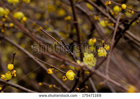Chimonanthus praecox Stock Photos, Images, & Pictures.