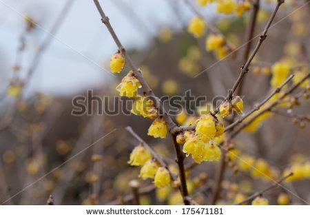 Chimonanthus praecox Stock Photos, Images, & Pictures.