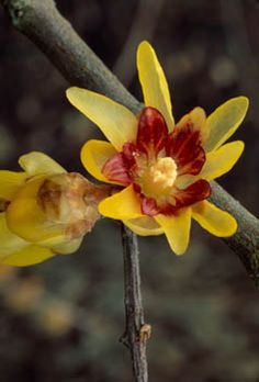 Fragrant wintersweet / chimonanthus praecox / Japanese allspice.