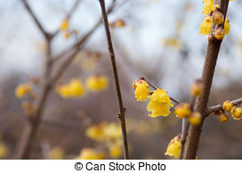 Stock Photographs of Chimonanthus praecox.