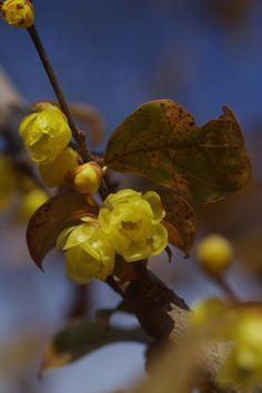 Calicanto d'inverno (Chimonanthus Praecox).