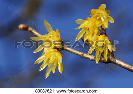 Stock Photography of DEU, 2008: Japanese Allspice (Chimonanthus.