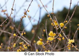 Stock Photographs of Chimonanthus praecox.
