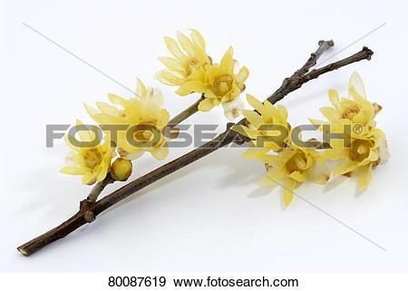 Stock Photograph of DEU, 2007: Wintersweet (Chimonanthus praecox.