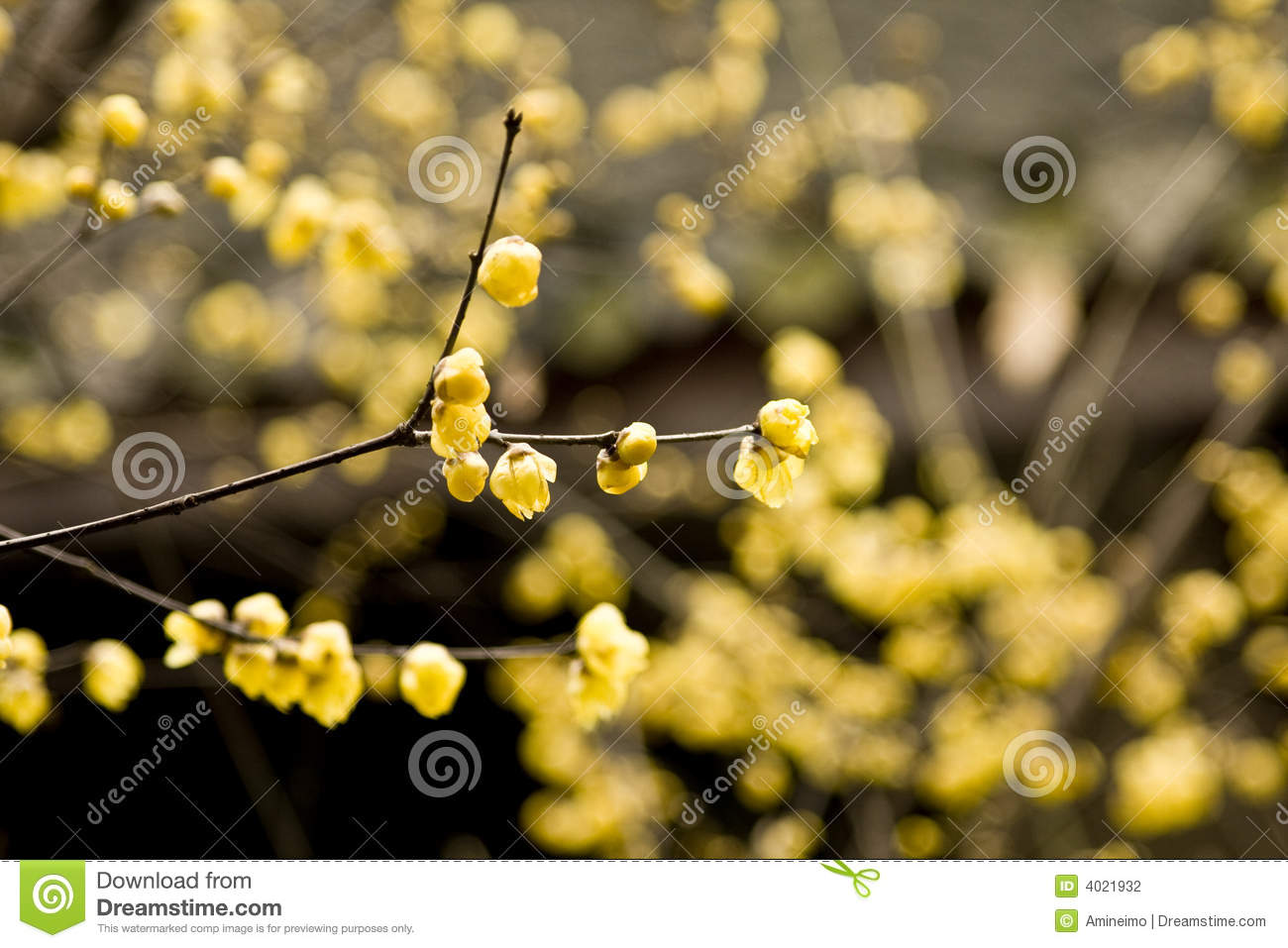Chimonanthus Praecox Stock Photography.