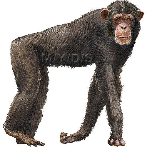 Chimpanzee, Chimp clipart graphics (Free clip art.