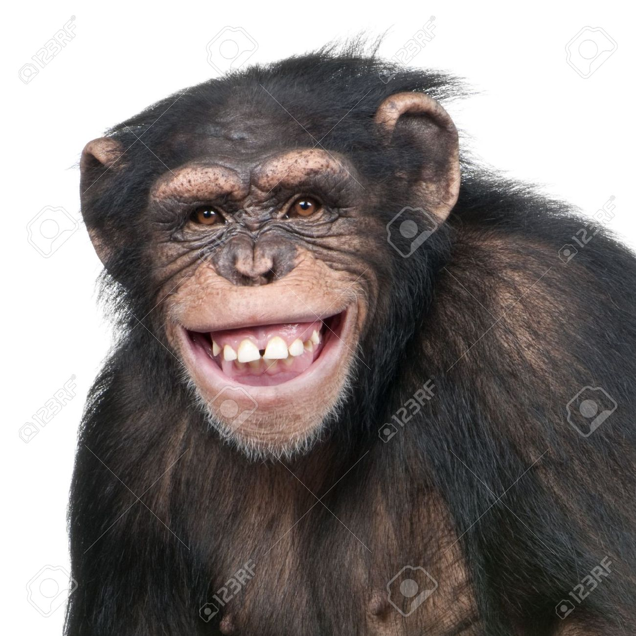 Chimp Png (110+ images in Collection) Page 1.
