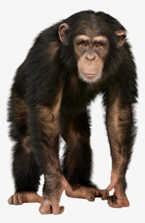 Chimp PNG & Download Transparent Chimp PNG Images for Free.