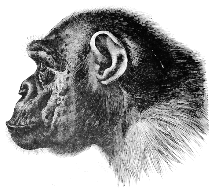 chimpanzee profile.