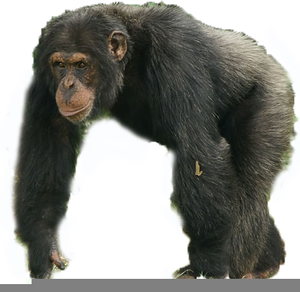 Chimpanzee And Clipart.
