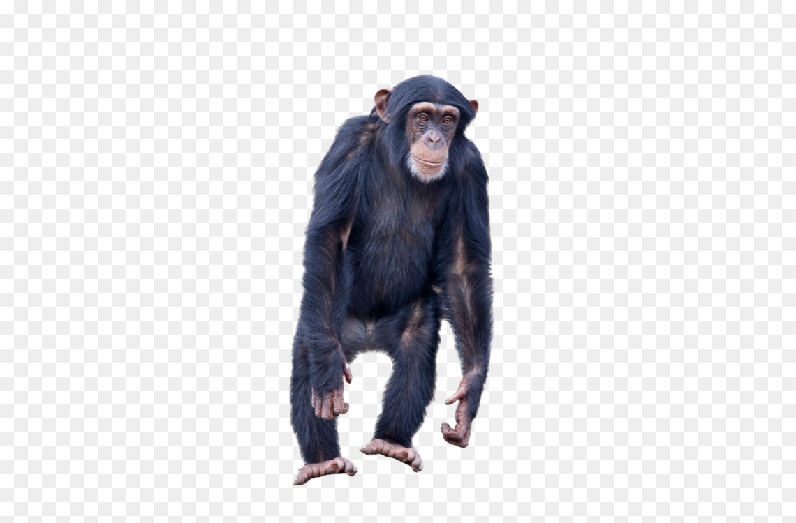 Common Chimpanzee,Mammal,Great Ape Transparent PNG.