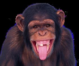 Free transparent Chimpanzee PNG images Download.