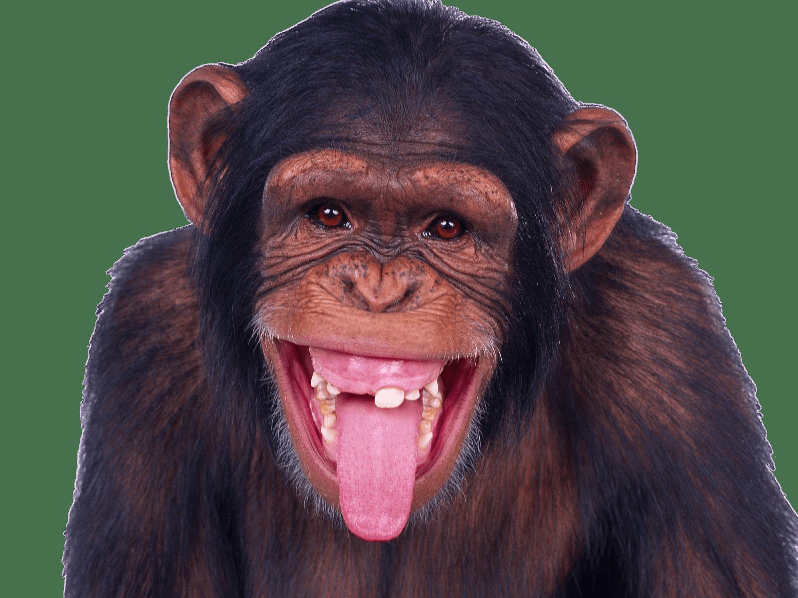 Chimpanzee Sticking Out Tongue transparent PNG.