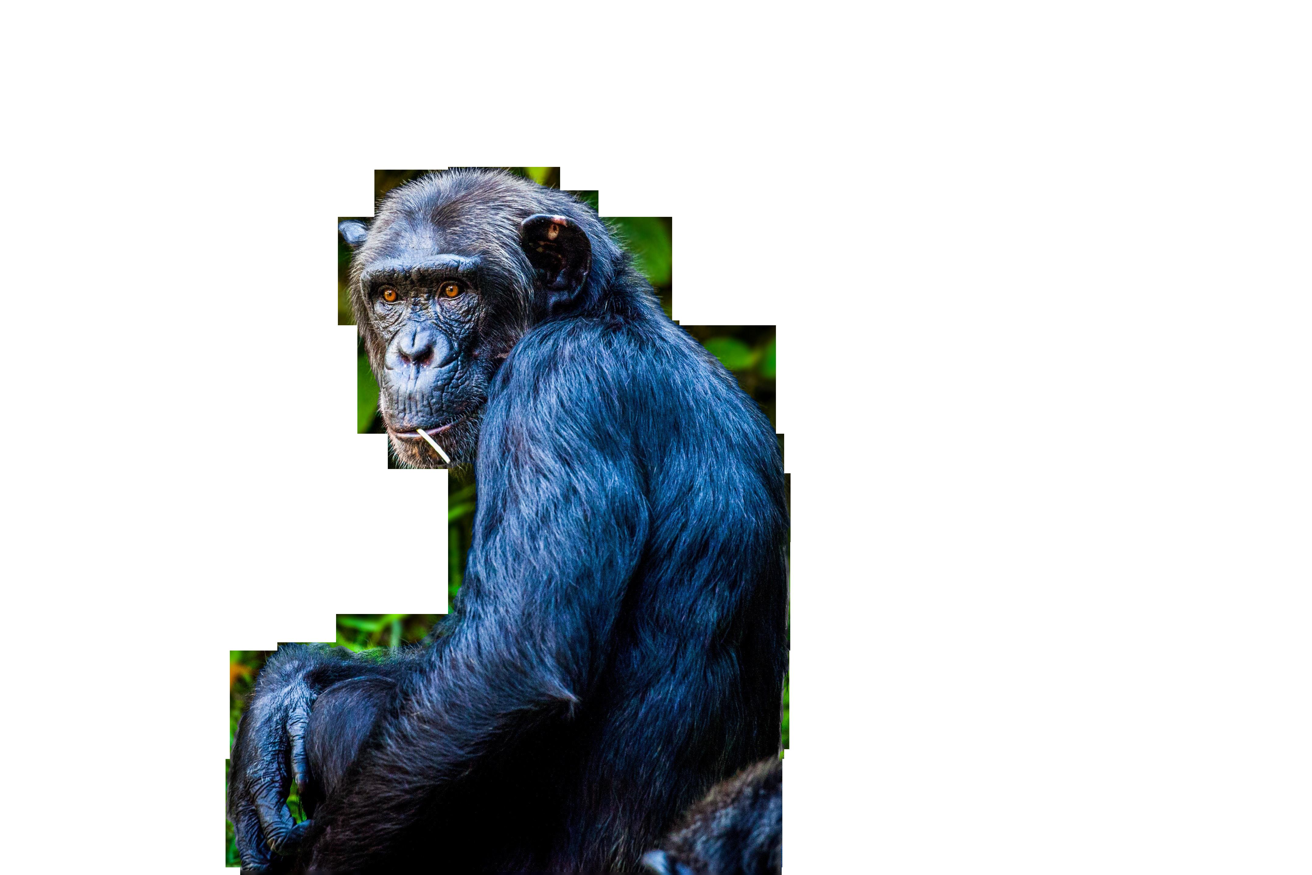 chimpanzee png image 4.