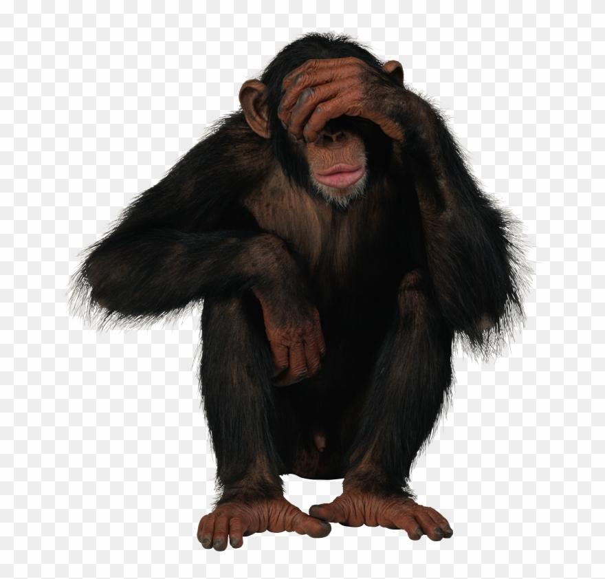 Chimpanzee Png.
