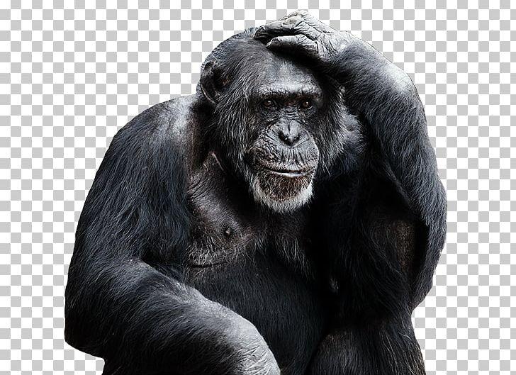 Common Chimpanzee Royal Burgers' Zoo Bonobo Primate Orangutan PNG.