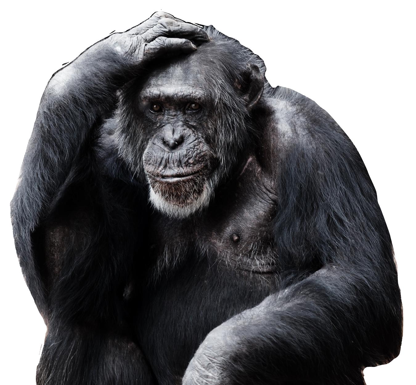 Chimpanzee PNG Image.
