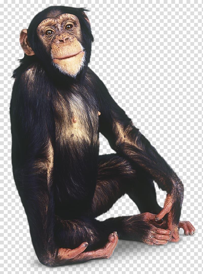 Gorilla Common chimpanzee Primate Orangutan Gibbon, chimpanzee.