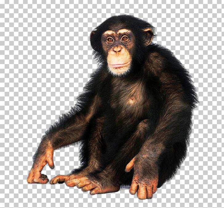 Japanese Macaque Common Chimpanzee Bonobo Ape Bornean Orangutan PNG.