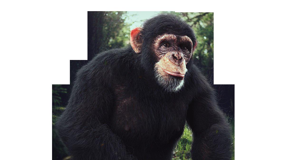 chimpanzee png image 1.