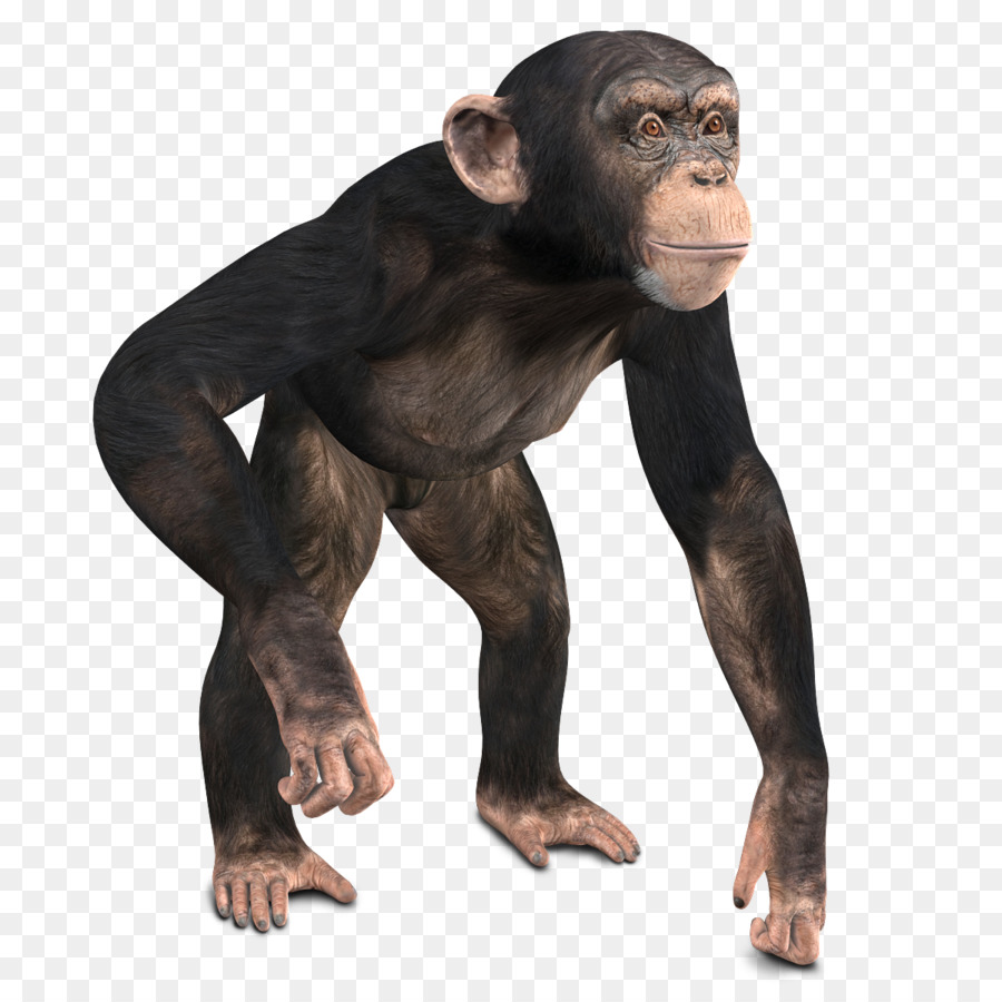 Gorilla Cartoon png download.