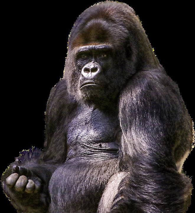 Mammal,Vertebrate,Western lowland gorilla,Primate,Head,Common.