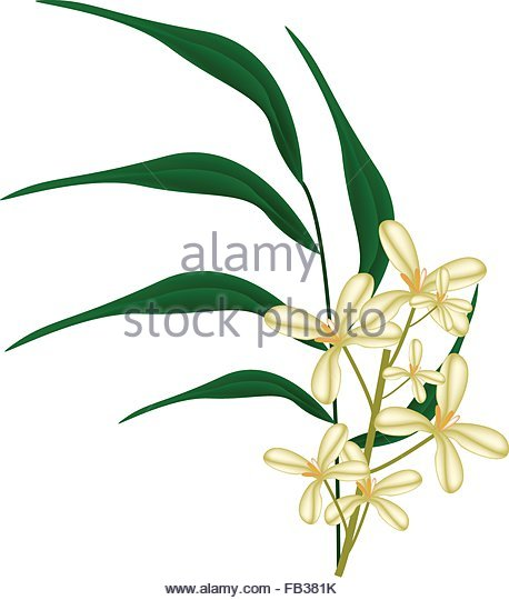 Oleaceae China Chinese Flower Stock Photos & Oleaceae China.
