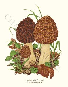 Morel Mushroom Hunting Its that time of year again in Wisconsin.