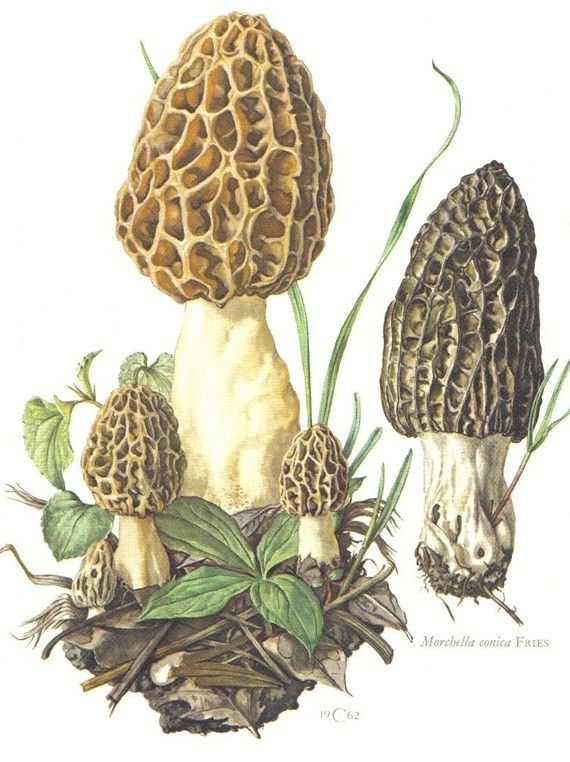 1000+ ideas about Morel on Pinterest.