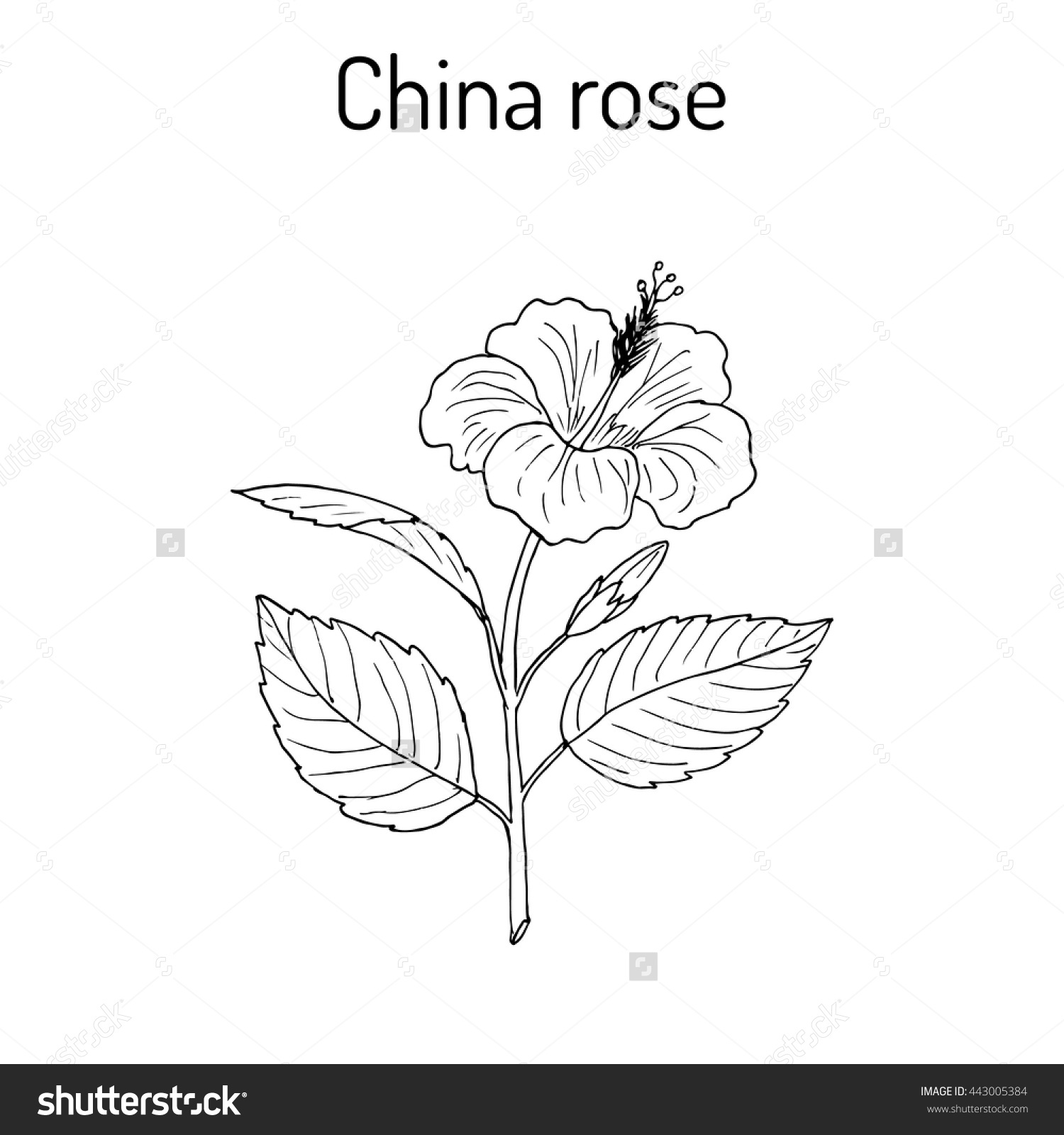 China Rose Hibiscus Rosasinensis Shoeblackplant Flowering Stock.
