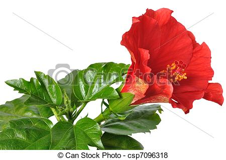 China rose Stock Photo Images. 2,208 China rose royalty free.