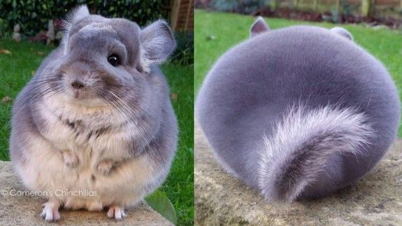 Have a great time looking at these round chinchilla butts.