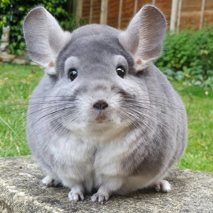 These Chinchillas' Butts Are So Round, They Look Fake.