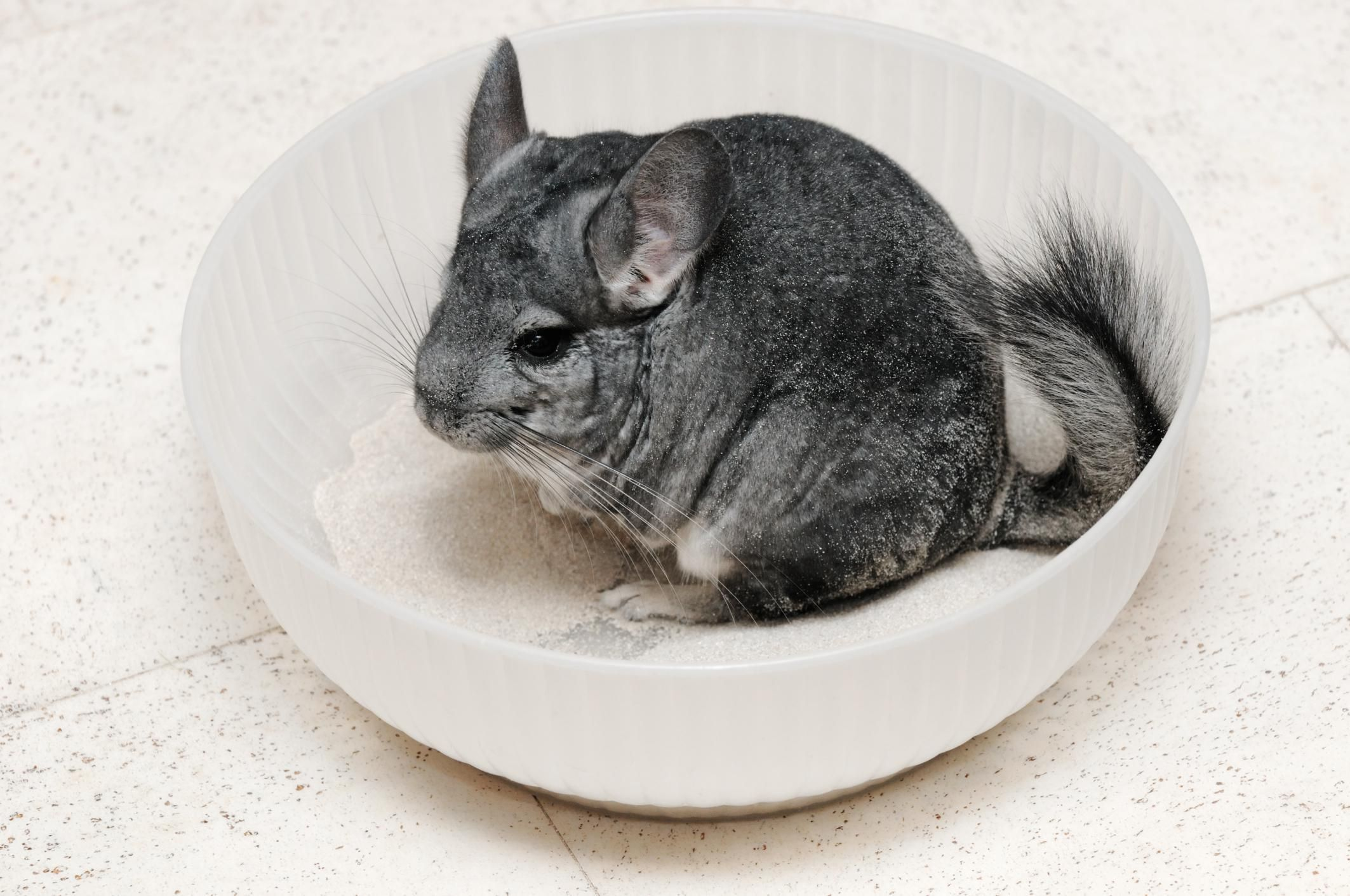 Chinchillas Pet Profile and Facts.