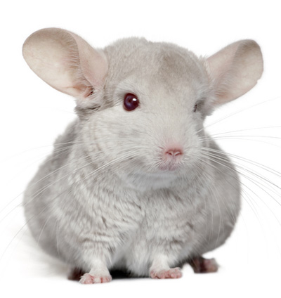 Chinchilla Care, Information, Facts & Pictures.