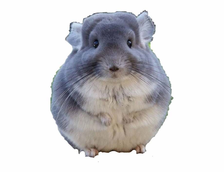 Chinchilla Cute Free PNG Images & Clipart Download #4786930.