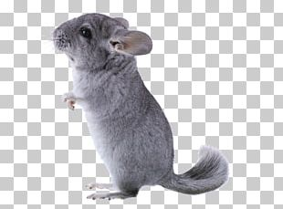 Long Tailed Chinchilla PNG Images, Long Tailed Chinchilla Clipart.