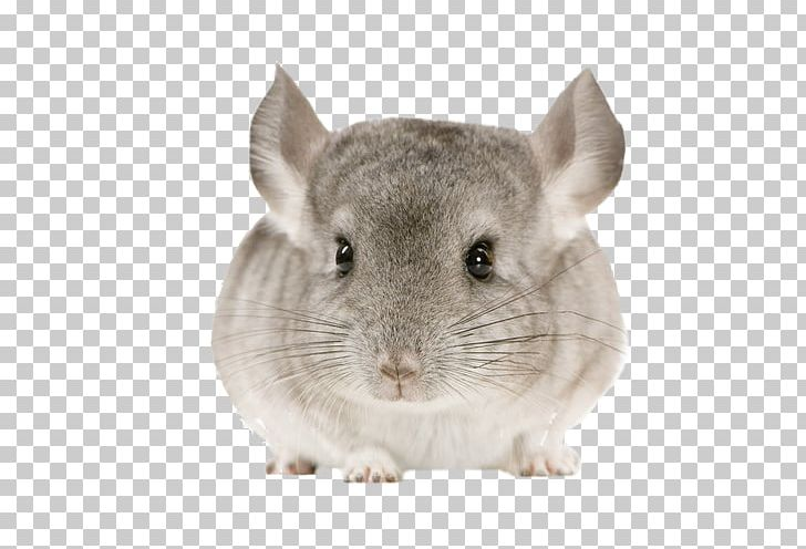 Chinchilla Rodent Cat Pet Guinea Pig PNG, Clipart, Animal, Animals.