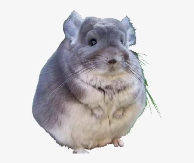Fat Chinchilla PNG Image.
