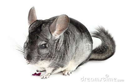 Chinchilla Eating Stock Photos, Images, & Pictures.